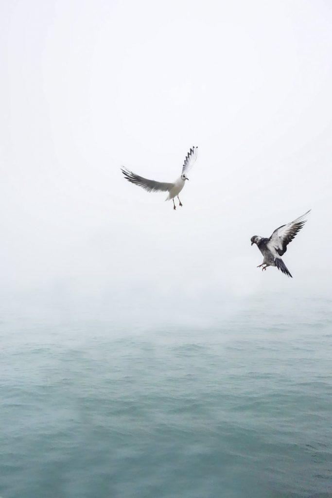 Måger ved hav
