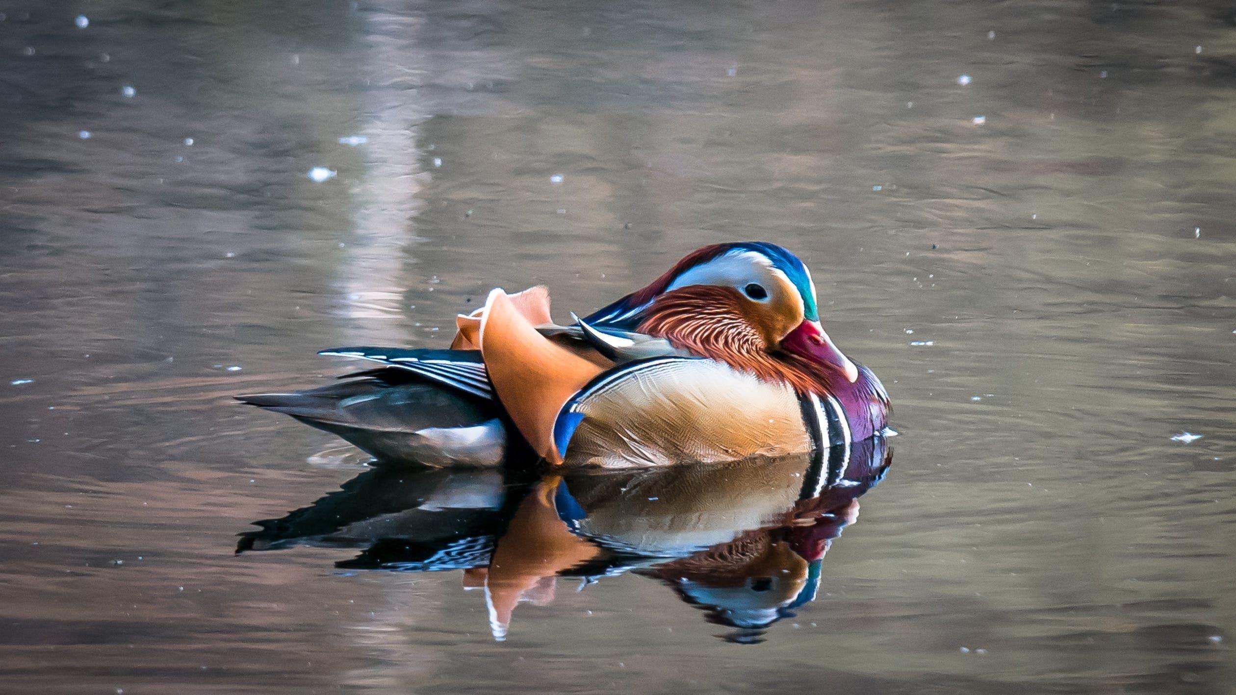 Svømmefugl